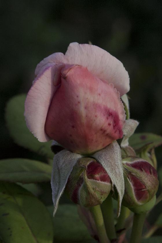 inimitable rose