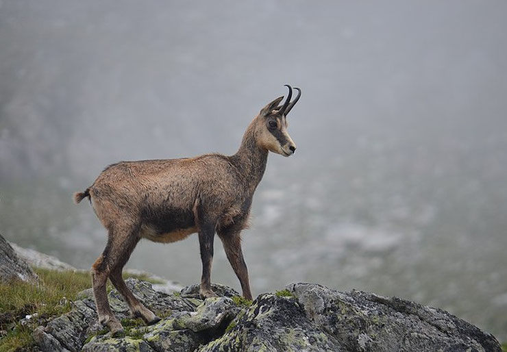 chamois-fiche-animaux-des-montagnes-françaises-bovides-animal-facts-alpine-chamois