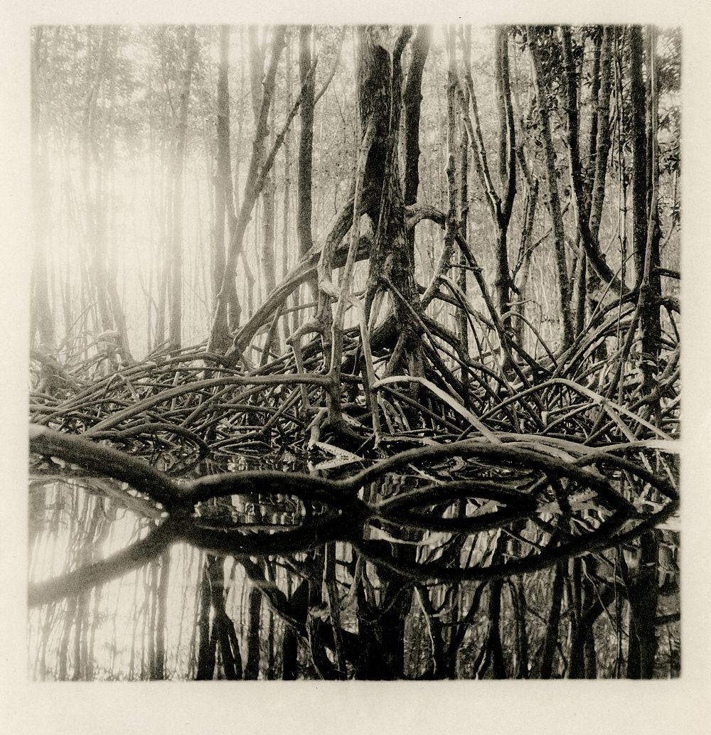 mangrove027
