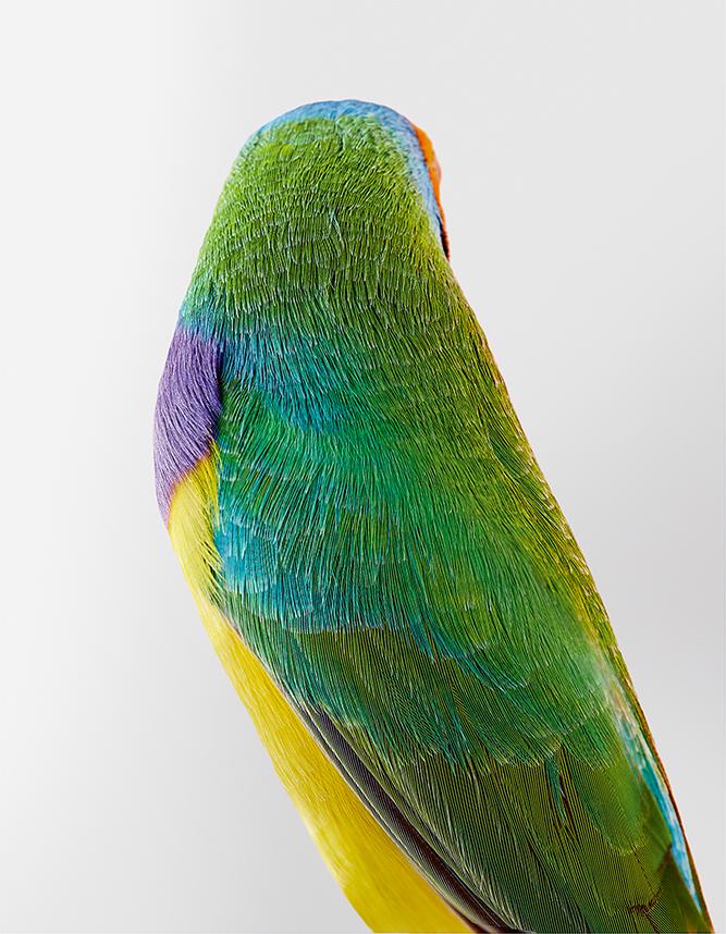 20_Christo, diamant à cinq couleurs, Orange-Headed Gouldian Finch