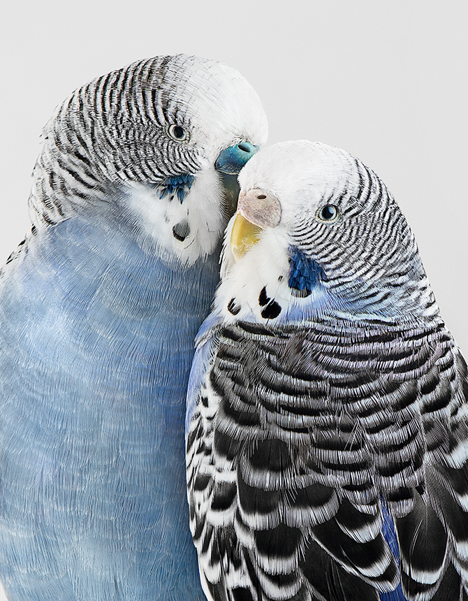 45_River and Cloudy, perruches, Budgerigars