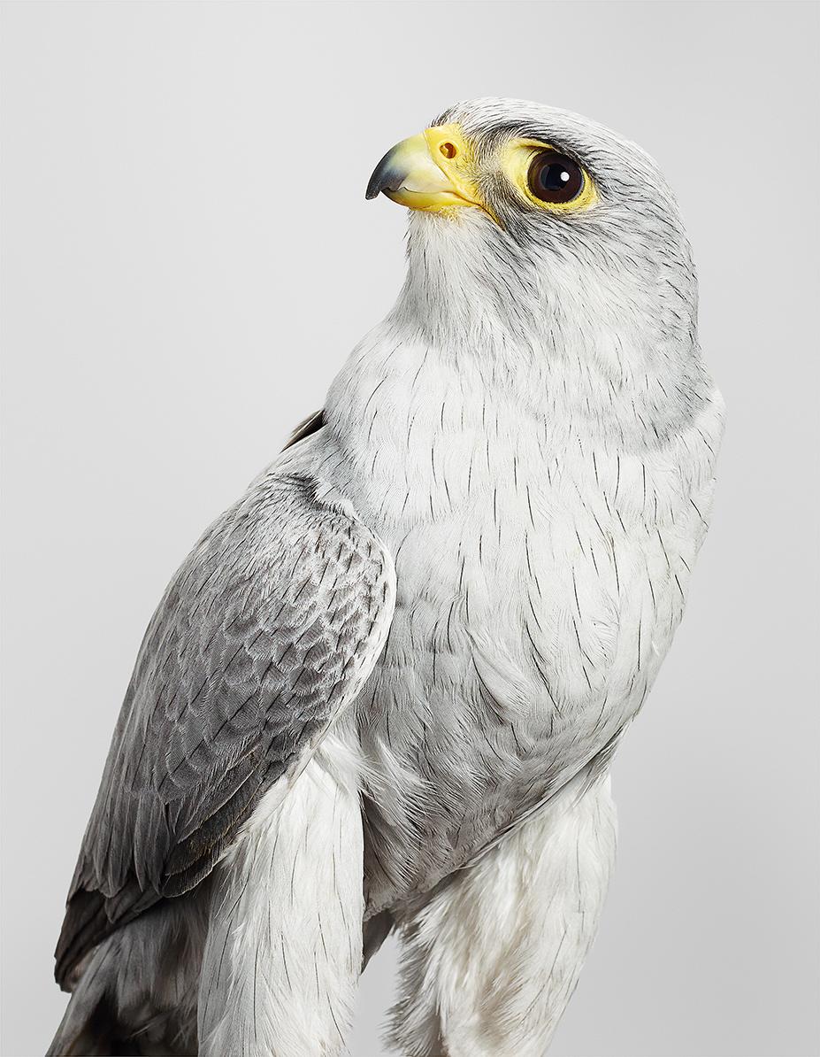 75_Ash, faucon gris, Grey Falcon
