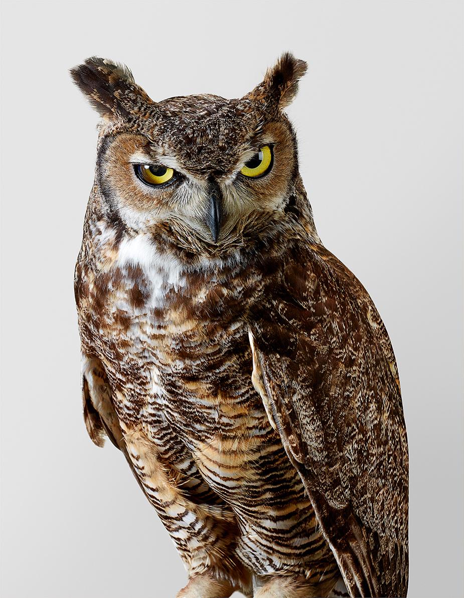 7_Forrest, grand-duc d'Amérique, Great Horned Owl